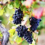 Виноградарство в Центральной России… почему бы и нет?