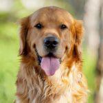 Как выбрать корм для беременной и кормящей собаки